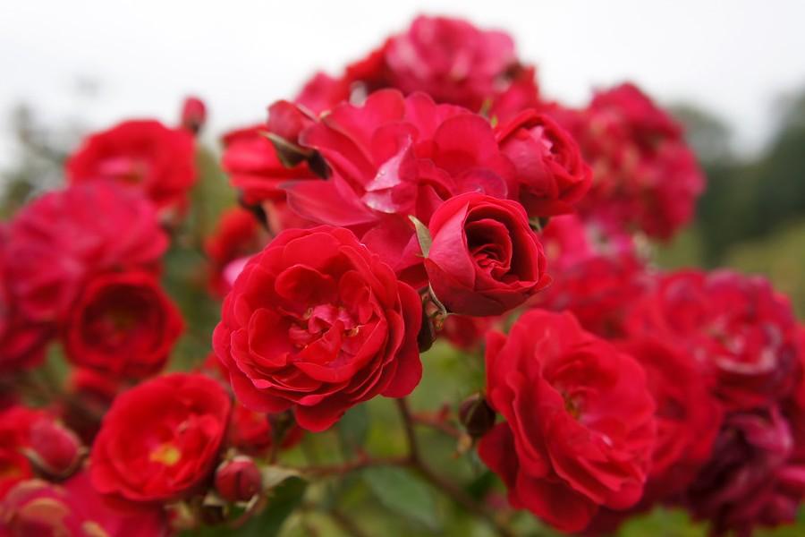 roze kordes rosen